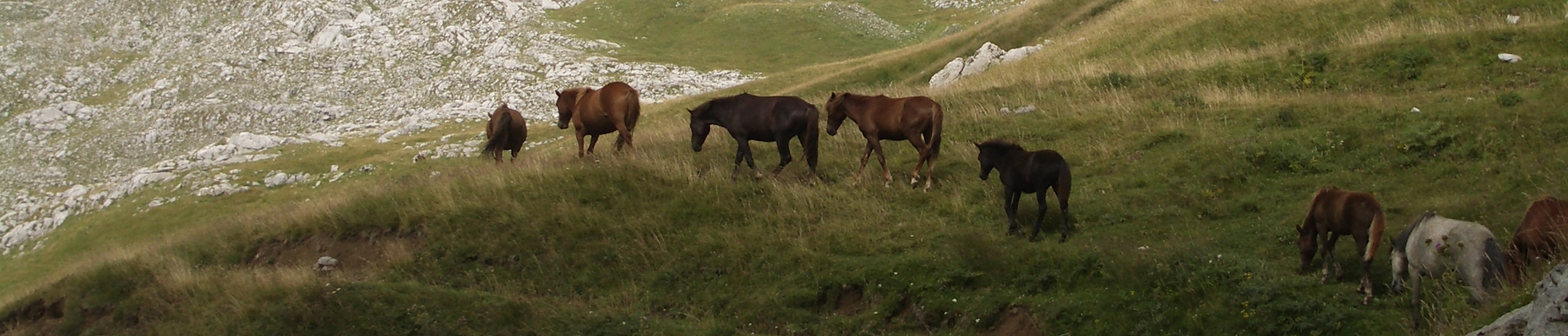 image of wild horses roaming free in the highlands of Montenegro